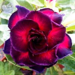 Desert Rose Seed