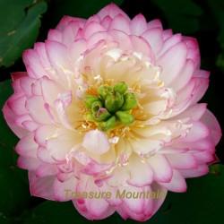 Lotus Pink Seed