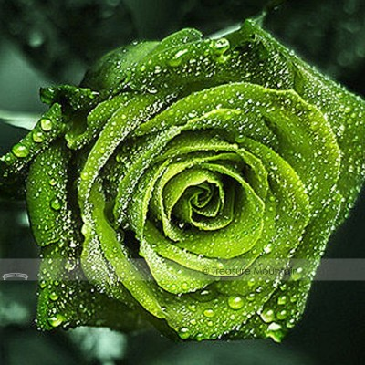 Dark Green European Rose Seeds