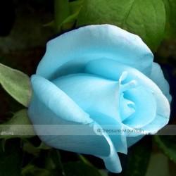 Light Blue Rose Plant Seeds