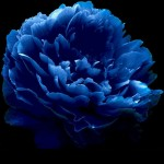 Dark Blue Tree Peony Flower Seeds